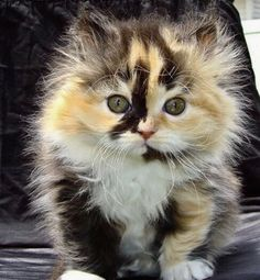 calico kitten Fluffy Kittens, Persian Kittens, Baby Kittens, Cute Cats And Kittens, Kittens Cutest, Russian Blue Kitten, Orange Kittens, Bengal Kitten, Cat Carrier