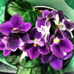 Oh I loooooove this African violets!!!! They just flower on my balcony is so amazing