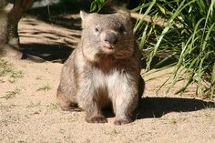 "Doesn't this Wombat look like Francis from the book ""A Bargain for Francis?"""