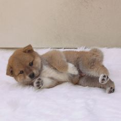 This fox-like dog is the intelligent (and now hilarious) Shiba Inu. Japanese Dogs, Japanese Dog Breeds, Cute Puppies, Cute Dogs, Dogs And Puppies, Doggies, Sweet Dogs, Australian Shepherd Dogs, Cute Puppy Pictures