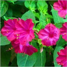 Seed Needs, Rose Four O' Clock (Mirabilis jalapa) 60 Seeds Flowers Perennials, Garden Flower Beds, Flowers, Perennial Flowering Plants, Flower Seeds, Flower Pot Design, Artificial Flowers, Fragrant Flowers, Plants