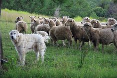 What is the Difference Between a Livestock Guard Dog and a Family Companion? - Homesteading and Livestock - MOTHER EARTH NEWS