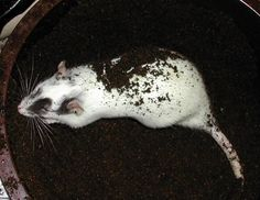 Make a digging box for your pet rats with sterile potting compost.