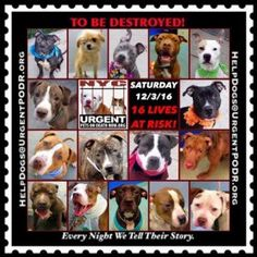 3 PUPPIES!!! -ON THE NYC ACC KILL LIST - SAT. - 12/03/16 - PLEASE SAVE THIS SWEET BABY! -SAVE A LIFE! (NOVA, LONDON & MARIBEL)