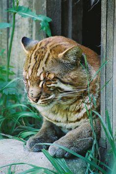 Golden Cat -