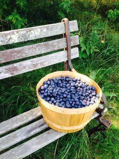 Blueberry picking!