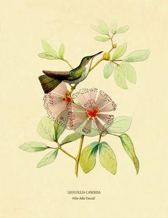 Vintage Natural History 8 x 10 Art Print: White-Billed Emerald Hummingbird on Calliandra Harrissii Flower Art Print. $9.99, via Etsy.