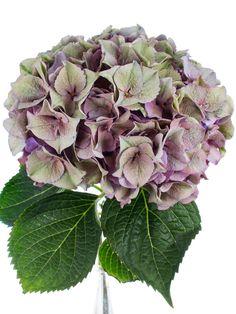 Hortensien sorgen für eine üppige Blütenpracht in Ihrer Vase. Die Sorte Rodeo besticht durch ihre außergewöhnliche Farbgebung. Ihre lila-grünen Blätter wirken sehr zart und lassen sich prima mit weißen oder alt-roséfarbenen Blumen kombinieren. Genaue Angaben zur Blütengröße und St…