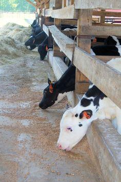 Dairy calves. Feed them, raise them, love them, heck, ride them, too! Lol.