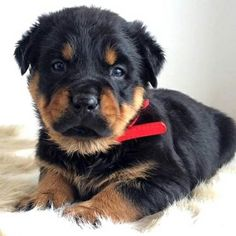 """384 Likes, 23 Comments - @rottieawareness on Instagram: """"Little fluff ball @gabaldon_bear • Do you have a similar picture ? We want to see it! Tag us in…"""""""