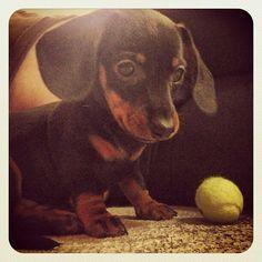 Dachshund - Puppy playing!