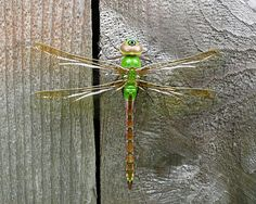 The green darner is one of the most common dragonflies abundantly found  throughout North America and as far south to Panama. It is well known for its great migration distance from the northern United States south into Texas and Mexico.