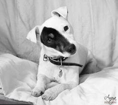 Izzy.  #JackRussellTerrier #Dog #CUTE #TiltHead #AnayaPhotography