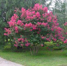 Crespon - crece hasta 5 mts, soporta heladas, caduco, colores rosa, lila, rojo y blanco