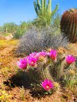 Blooming hedgehog cactus.