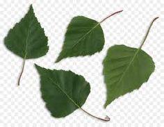 Kuvahaun tulos haulle birch LEAVES Birch, Plant Leaves, Plants, Plant, Planets