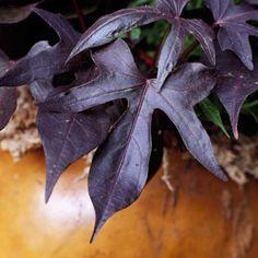 Blackie Sweet potato vine - Plant Encyclopedia - BHG.com