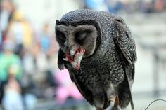 Sooty Owl Lunch Photo by Courtney Baxter -- National Geographic Your Shot