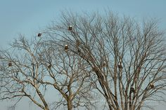 Wintering Bald Eagles – Bald Eagles gathered in tree overlooking the river   Show Me Nature Photography