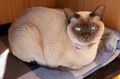 Our chocolate Burmese cat, Chia. gets caring Cat Sitter for 2nd time in Nations Captital Near Civic ACT Australia