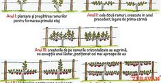 """Învățați în 5 minute cum se formează un """"pom pe sârmă"""" Fruit Trees, Grape Vines, Gardening, Urban, Tips, Projects, Terrariums, Agriculture, Plant"""