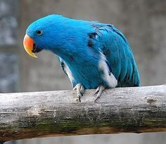 funny eclectus parrots - Google Search