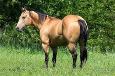 Buckskin beauty