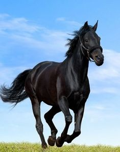 Black Arabian Horse, Beautiful Arabian Horses, Most Beautiful Horses, Majestic Horse, Black Horses, Pretty Horses, Horse Love, Wild Horses, Animals Beautiful