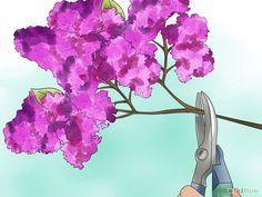 Image intitulée Grow Lilacs Step 8
