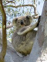 The absolute best place in Australia to see koalas in the bush. If you don't see them here you aren't looking. Ugly Betty, The Way Home, In The Tree, Lake District, Australia Travel, North West, The Locals, Kangaroo, Family Travel