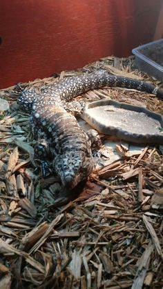 36 best smaug the tegu images new baby products reptiles monitor