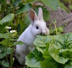 "The origins of the term ""Rabbit Food""."
