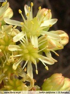 Sedum sediforme - Flor (close-up) | Cristina Estima Ramalho; CC BY-NC 4.0
