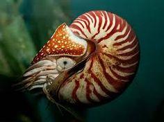 Image result for nautilus pompilius shell