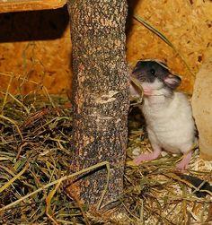 Good Ratte im Heu
