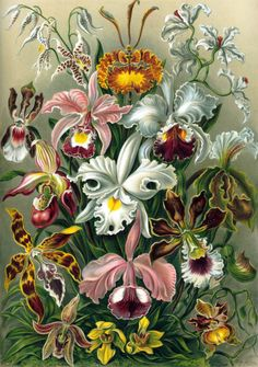 "femmeseasons: "" Orchidae. A lithographic color plate from Ernst Haeckel's Kunstformen der Natur, 1899 """