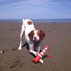 Here is a picture of Zoey, a 9 month old Brittany Spaniel enjoying her new Rogz Floating Lighthouse.  Why are Rogz Floating Lighthouses great summer toys? -Easy throw cord adds distance for retrieving! -High floating visibility because it FLOATS UPRIGHT! -Long lasting durability and comfortable texture for dog's gums! -A great way to burn off your pet's extra energy! These are available at Global Pet Foods stores across Canada.
