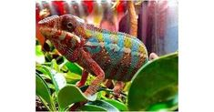 Ambilobe Panther chameleons for sale online, buy baby ambilobe panther chameleon for sale online panther chameleon breeder baby panther chameleon for sale. Chameleons For Sale, Baby Panther, Baby Chameleon, Discovery, Snake, Animals, Wall, Animales, Animaux