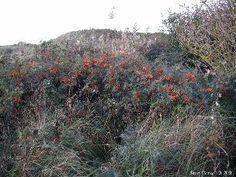Havklinter og stenede strande. Kystklint eller -klippe.  Denne naturtype er meget variabel. Hvilke planter den rummer, afhænger dels af højden, dels af klintens stejlhed og dels af nærheden ved havet. Ofte ser man en tydelig zonedannelse op ad klinten.  Typiske planter kan – afhængig af meget lokale forhold – være f.eks. følgende: Engelskgræs (Armeria maritima) Firehannet Hønsetarm (Cerastium diffusum) Havtorn (Hippophaë rhamnoides) Hedelyng (Calluna vulgaris) Hindebæger (Limonium spp.)…