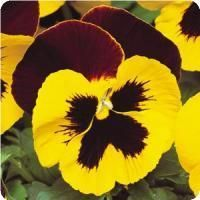 Matrix™ Red Wings Pansy