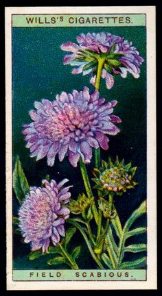 "Wills's Cigarettes ""Wild Flowers"" (issued in Field Scabious Domino Art, Collectible Cards, Fence Art, Language Of Flowers, Flower Fairies, Painting Lessons, Retro Art, Vintage Ephemera, Botanical Prints"