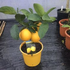 Indoor Mini Stem Lemon Tree with small fruits. Ideal gift for any occasion from Get Well Soon to Birthdays. Excellent for growing on windowsills, kitchens, conservatories and more.