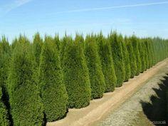 Ponúkame na predaj okrasnú drevinu Tuju západnú Smaragd o veľkosti: 30-40cm: 1.69Eur s DPH, 60-80cm: 4.99Eur, 80-110cm: 6.99Eur, 130-160cm: 24Eur, ...