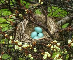 Ideas Bird Nest Drawing Robins Egg For 2019 Nester, Blue Eggs, Robin Bird, Bird Cages, Bird Nests, Robins Egg, Bird Feathers, Beautiful Birds, Bird Houses
