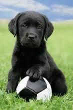 zwarte labradors - Google Search