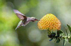 Humming Hummer - Hummingbird feeding on cactus flowers