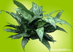 House Plant Maintenance Tips Find Out If Your Houseplants Are Poisonous To Children And Pets From Our Plant Wizard Section At Buy Flowers Online, Buy Plants Online, Best Office Plants, Chinese Evergreen Plant, Snake Plant Care, Air Cleaning Plants, Indoor Flowering Plants, Plant Diseases, Plant Guide