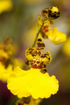 dancing ladies orchid by NYBG, via Flickr