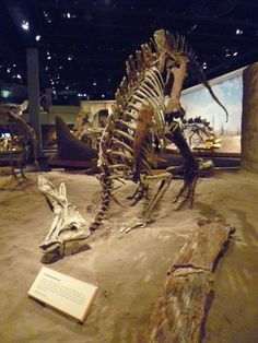 Lambriosaurus. You can see a baby behind the neck of the adult. Royal Tyrrell Museum, Drumheller, Alberta