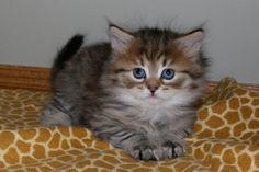 Litter C Album Siberian Kittens, Album, Animals, Cats, Animales, Animaux, Animal, Animais, Card Book
